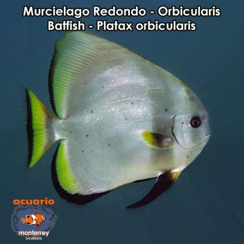 Muricelagos acuario monterrey acuariomty venta de for Accesorios para acuarios marinos