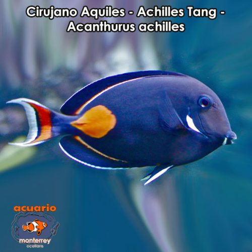 Cirujanos acuario monterrey acuariomty venta de for Accesorios para acuarios marinos
